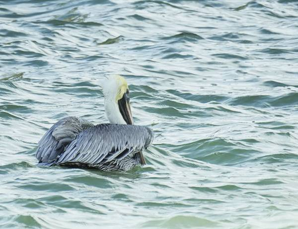 Brown Pelican seen near pier in Progresso Mexico