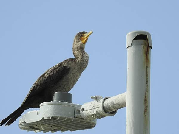 Double-Crested Cormorant seen near pier in Progresso Mexico