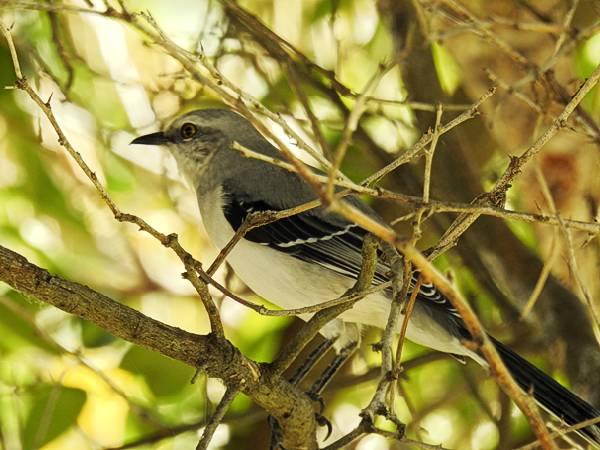 Tropical Mockingbird seen in Merida Mexico
