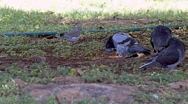 Ruddy Ground Dove, White-Winged Dove & Rock Pigeons in Merida Mexico