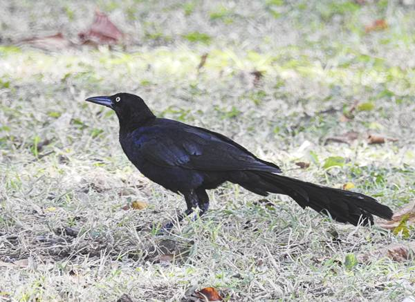 Great-Tailed Grackle seen in Merida Mexico