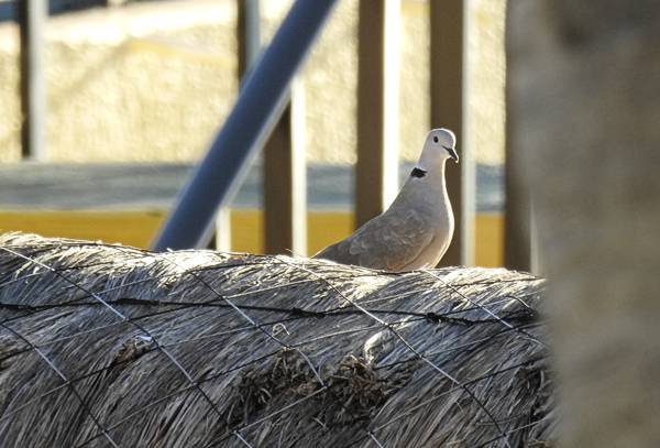 Eurasian Collared Dove seen at resort in Cancun Mexico