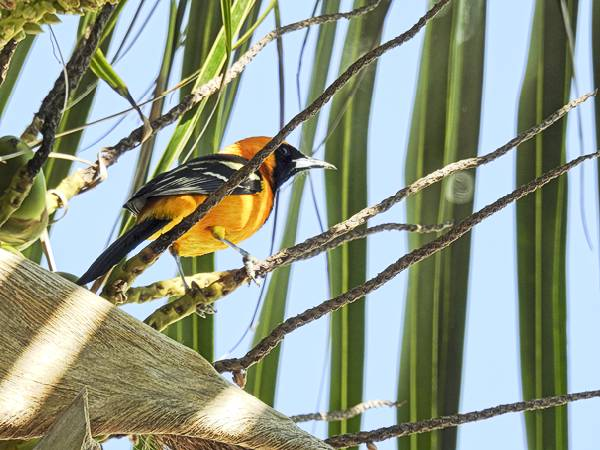 Hooded Oriole seen at resort in Cancun Mexico