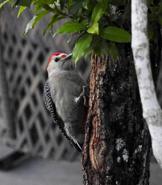 Yucatan Woodpecker seen in Tulum Mexico