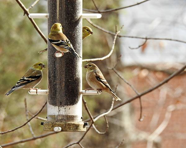 Goldfinches Eating Nyjer