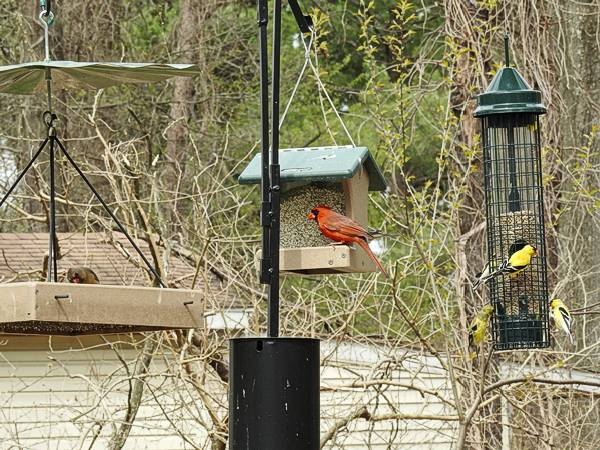 Cardinals and Goldfinches at Feeders on Pole