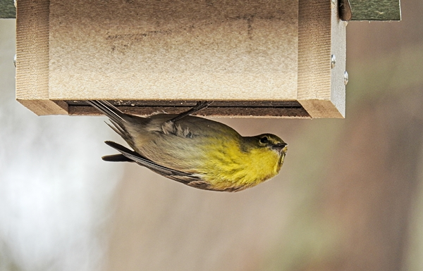 Pine Warbler on Upside-Down Suet Feeder