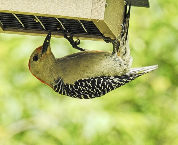 Red-Belllied Woodpecker Eating Suet