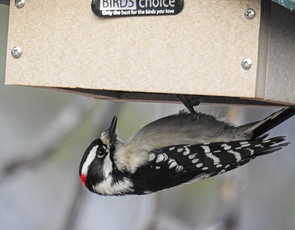 Downy Woodpecker on Upside-Down Suet Feeder