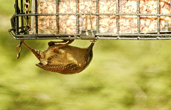 Carolina Wren Upside Down on a Tweaked Cage Suet Feeder