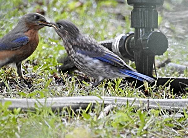 Bluebird Father Feeds Fledgling at Sprinkler
