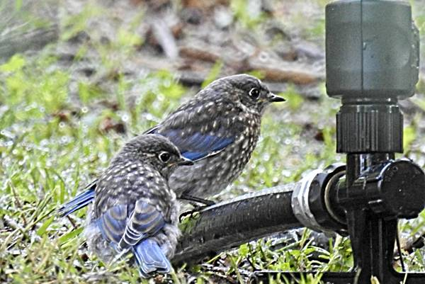 Two Bluebird Fledglings Hunting at Sprinkler