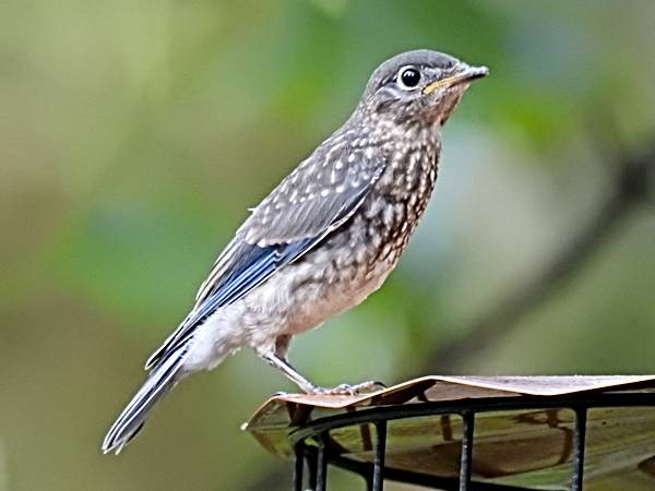 Bluebird Fledgling on Top of Mealworm Feeder