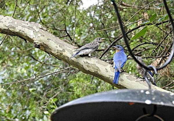 Fledgling and Father Bluebird