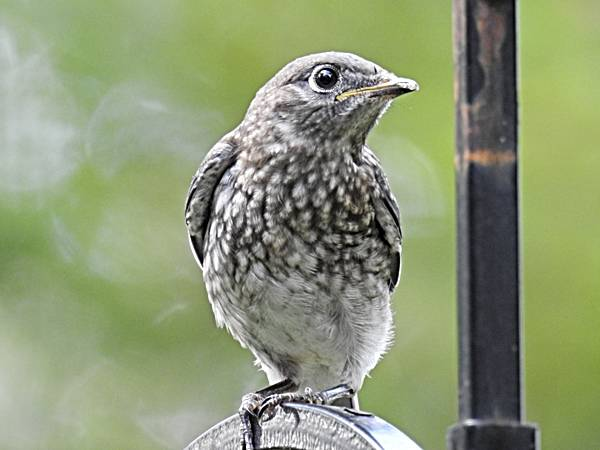 Fledgling Sitting on Shepherd's Hook Pole