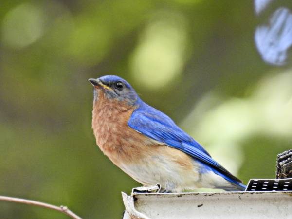 Eastern Bluebird Sitting on Roof Gutter