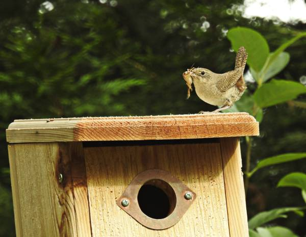 House Wren Brings Bug to Nestlings