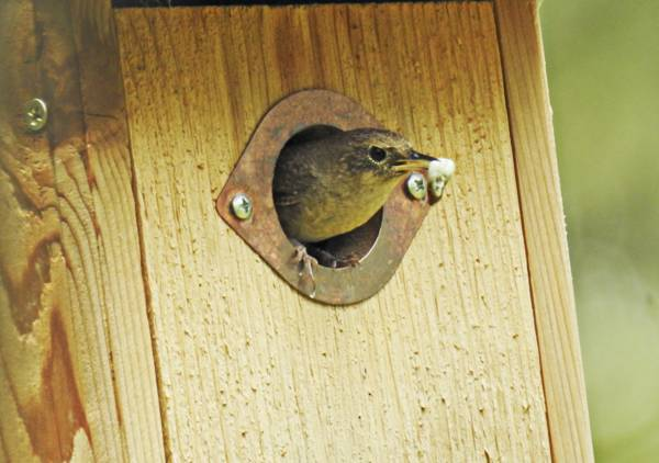 House Wren Carrying Fecal Sack Out of Box