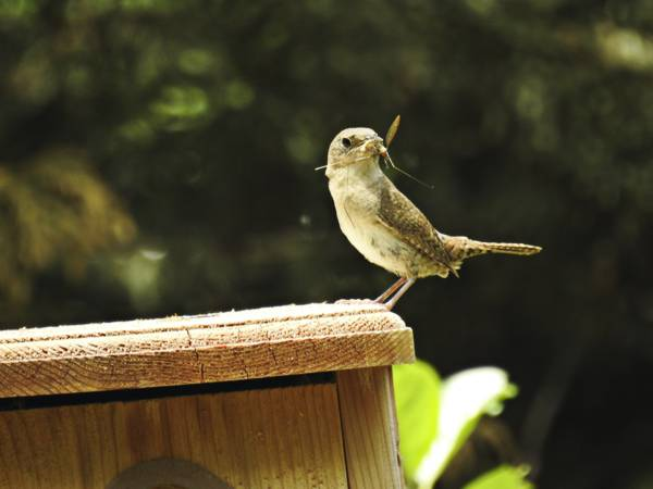 House Wren Parent Brings Bug to Nestlings
