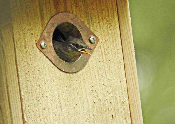 House Wren Nestling Getting Ready to Leave Nest Box