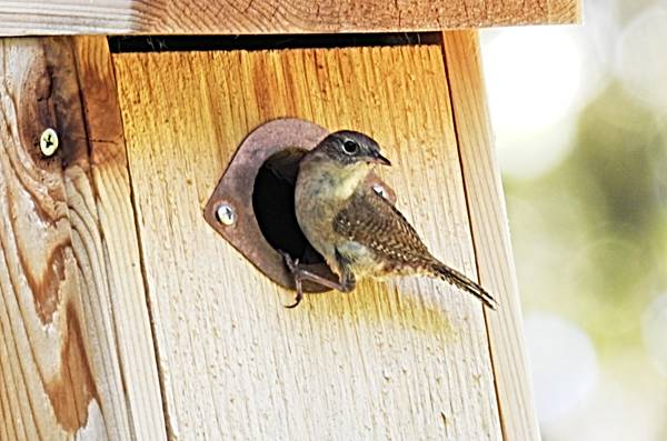 House Wren at Entrance to Nest Box