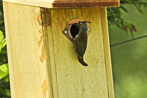 House Wren Brings Stick to Nest Box
