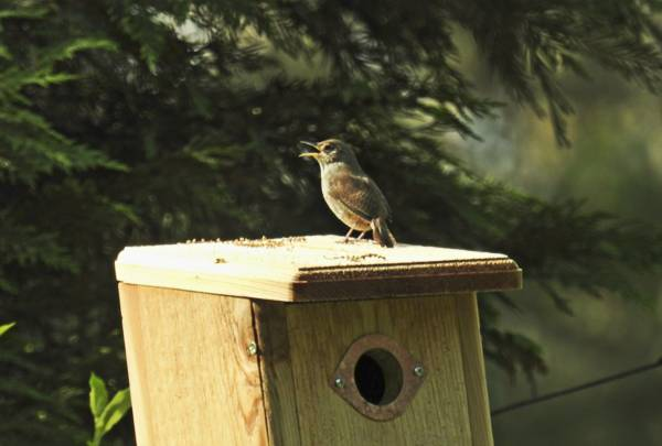 Male House Wren Singing on Nest Box