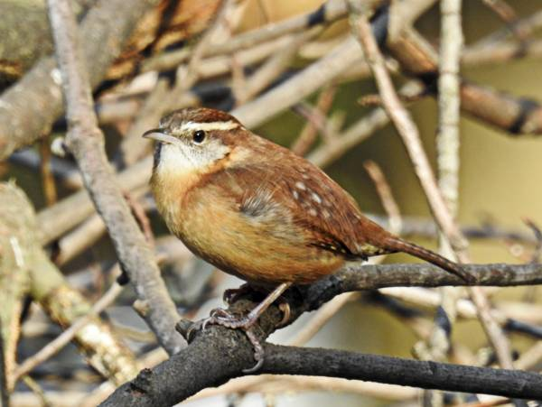 Carolina Wren on Branch in Brushpile