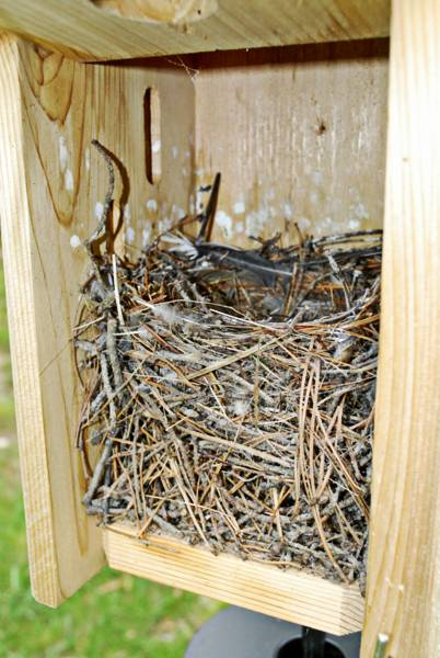 The Nest (As It Looked After Fledging)