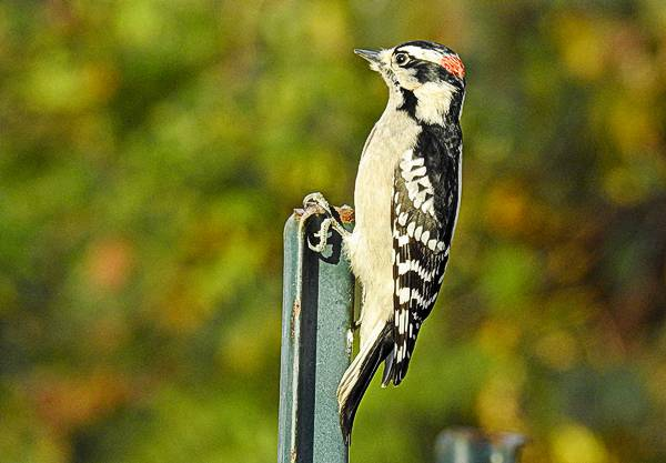 Male Downy Woodpecker on a post in my Maryland backyard