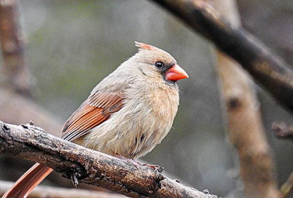 Female Northern Cardinal on a branch