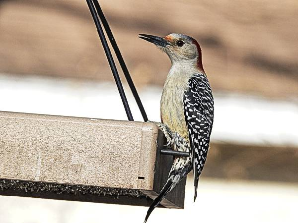 Female Red-Bellied Woodpecker on Backyard Feeder