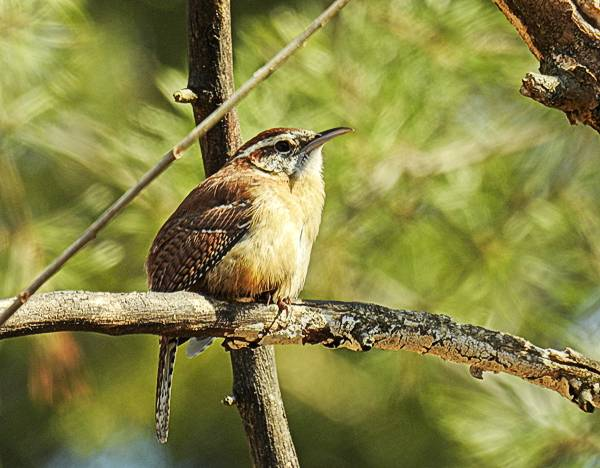 Carolina Wren in my Maryland backyard