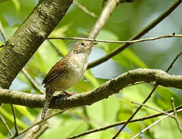 House Wren on a branch in my Maryland backyard
