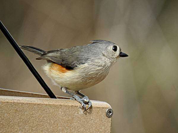 Tufted Titmouse on Backyard Feeder