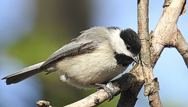 Carolina Chickadee on a branch in my Maryland backyard