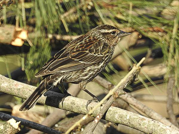 Female Red-Winged Blackbird in my Maryland Backyard Brush Pile