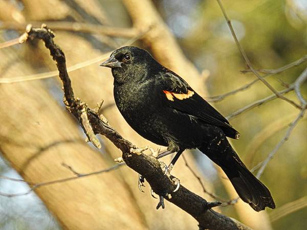Male Red-Winged Blackbird on a branch in my Maryland backyard