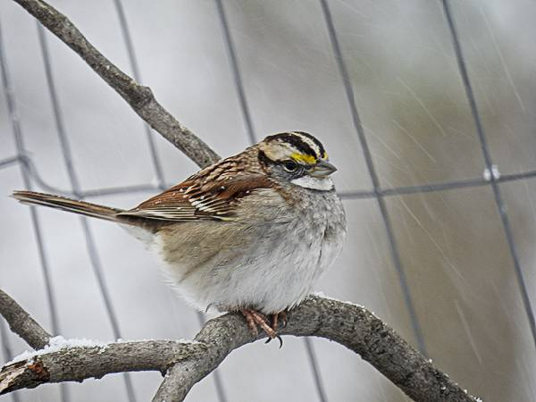 White-Throated Sparrow in the snow