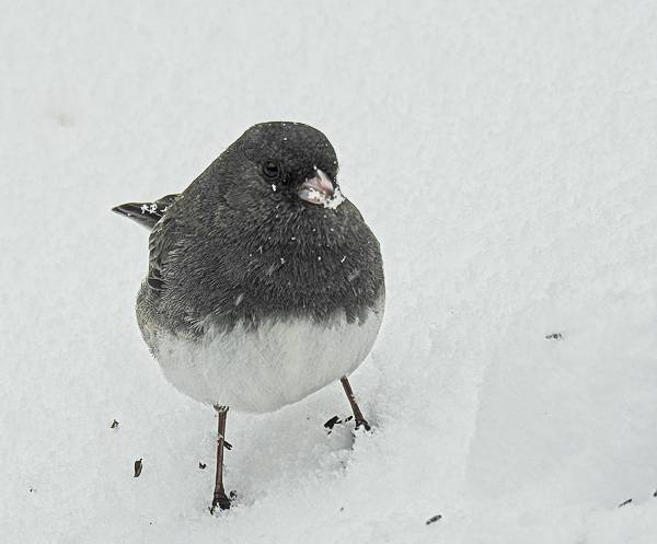 Dark-Eyed Junco in the Snow in My Maryland Backyard