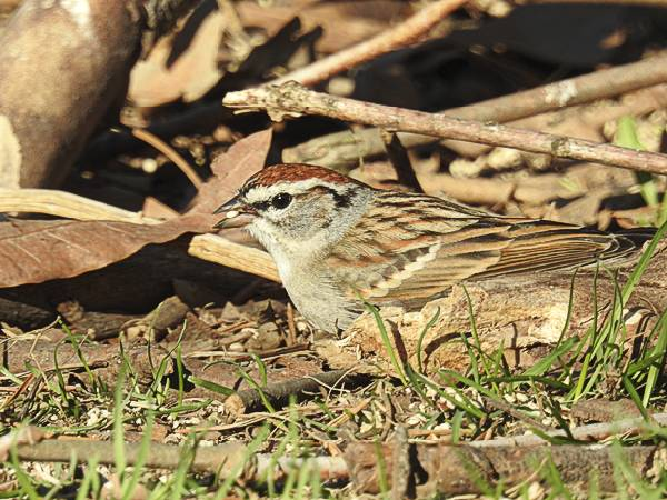 Chipping Sparrow eating millet