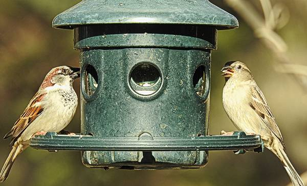 Male and Female House Sparrow on Backyard Feeder