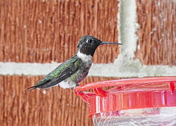 Ruby-Throated Hummingbird on a Backyard Feeder