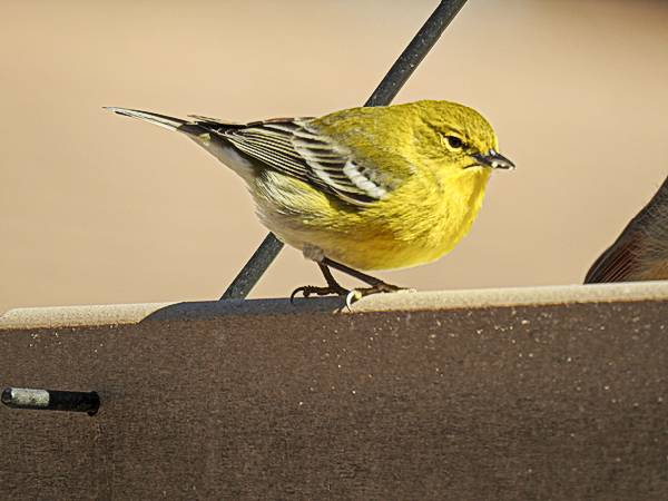 Pine Warbler on Feeder in Maryland backyard