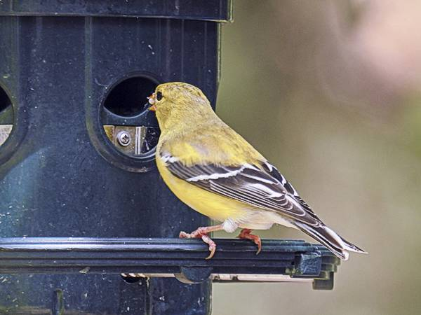 Female American Goldfinch Eating at Backyard Feeder