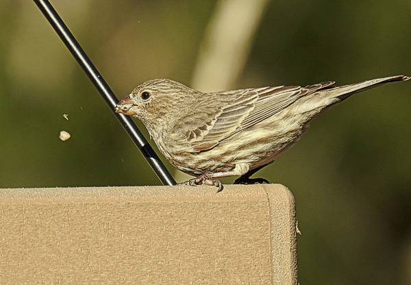 Female House Finch Eating at Backyard Feeder