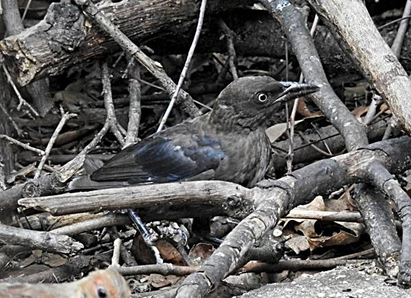 Juvenile Common Grackle in Brush Pile