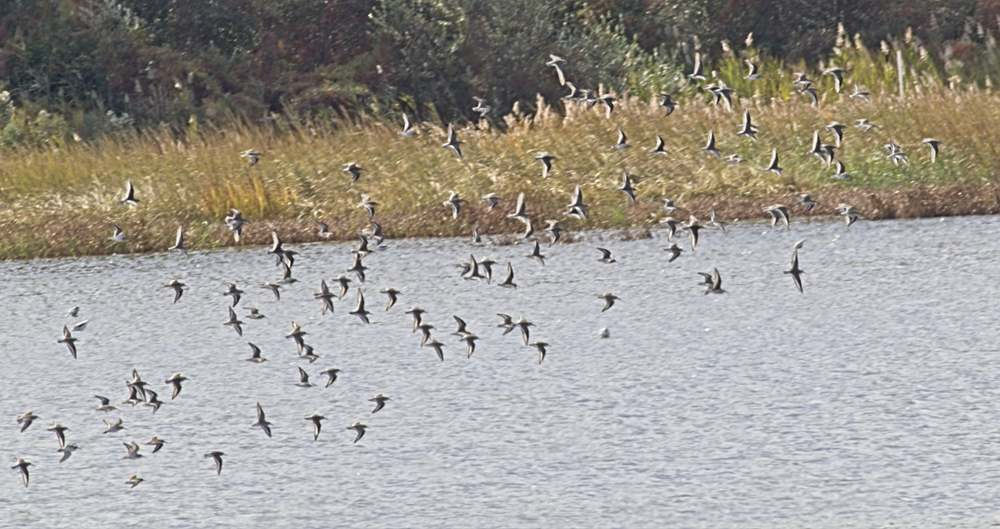 A flock of Dunlins over the Shearness Pool.