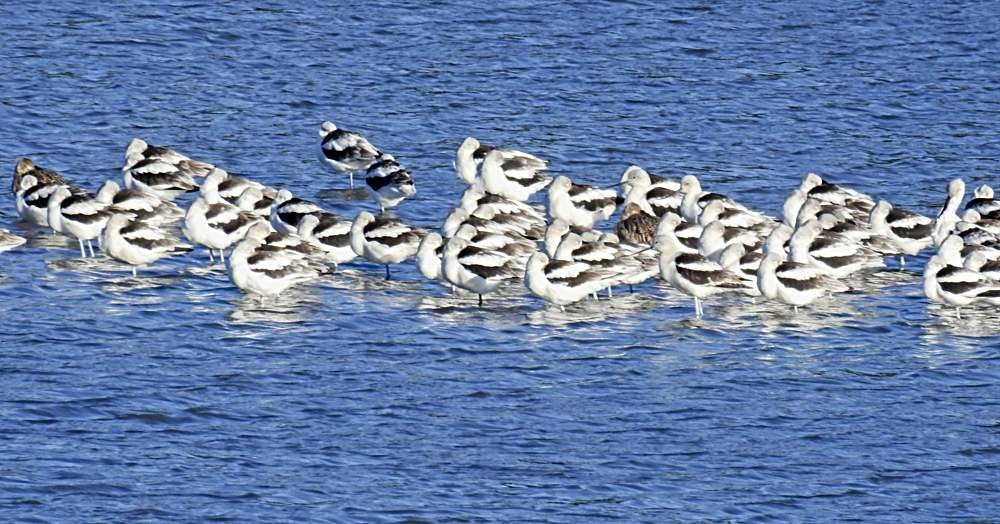 Birds: Fall American Avocets at Bombay Hook (Photo: Nancie Waterman)