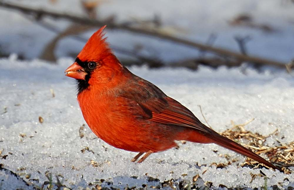 Cardinal Eating Seed in the Snow